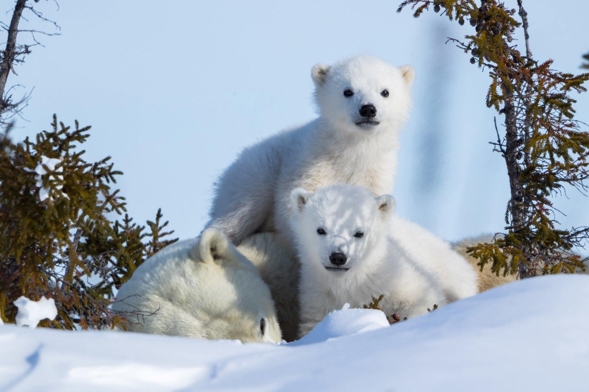 polor cubs